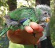 107922631_orange-frontedparakeetchickwithtransmitterdoc.jpg